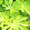 Fatsia japonica leaves in the sun.