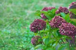 A purple hydrangea flower in bloom.