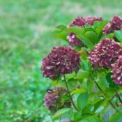 A purple hydrangea flower in bloom.