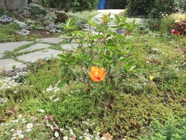 Growing Hibiscus Plants | ThriftyFun