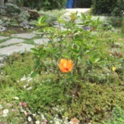 Growing Hibiscus - orange flower