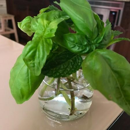 Propagating Basil From Cuttings - rooting basil cuttings