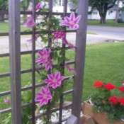 Dr. Ruppel Clematis