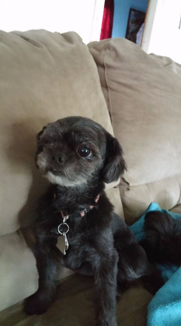 Georgie (Shih Tzu) - sitting on the couch