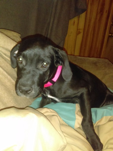 My Dog Is Afraid of Me - black dog wearing a red collar