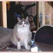 Princess MaiLing Birman Cat