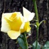 New Day - New Rose - long stemmed yellow rose up close