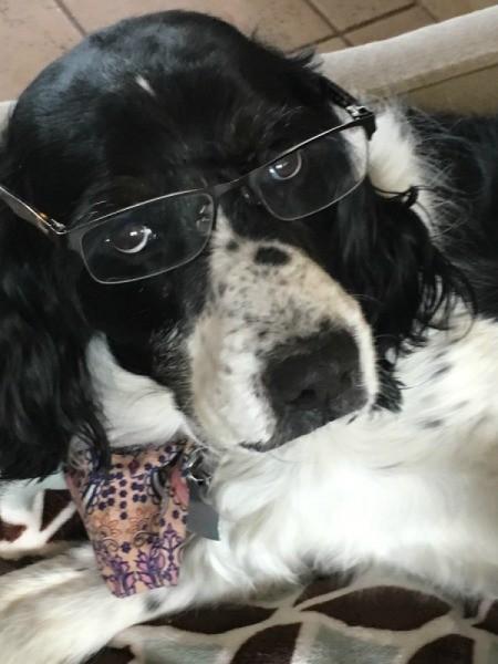 Brittney (English Springer Spaniel) - black and white spaniel wearing glasses