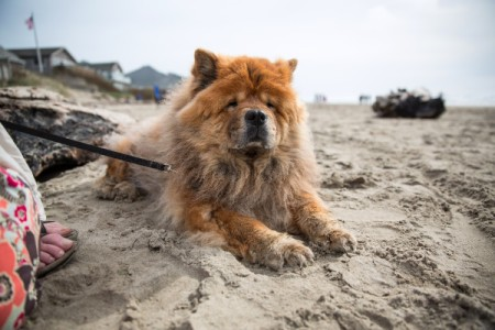 Honey (Chow Chow) - Honey on the sand
