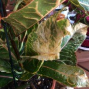Croton Leaves Dry at the Tips and Yellowish