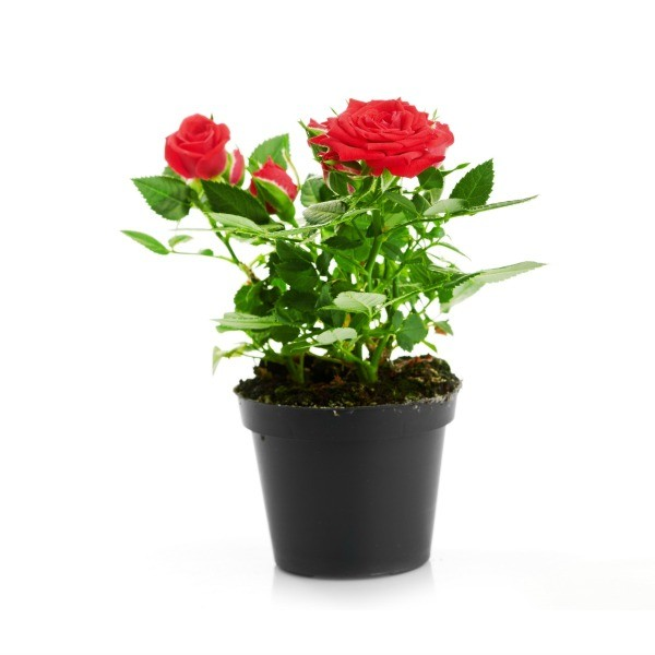 Potted Rose Bush Losing It S Leaves Thriftyfun