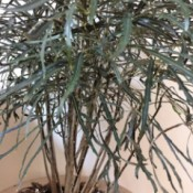 Identifying a House Plant - multi-stemmed plant with narrow dark green leaves