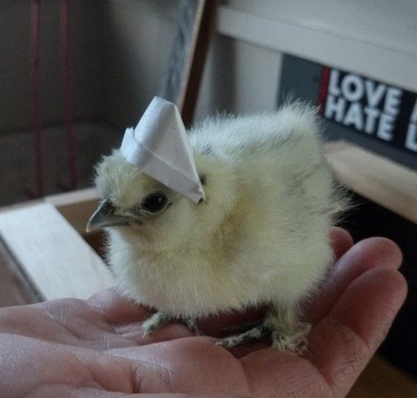 Peeps (Silkie Chicken) - chick wearing a paper sailor hat
