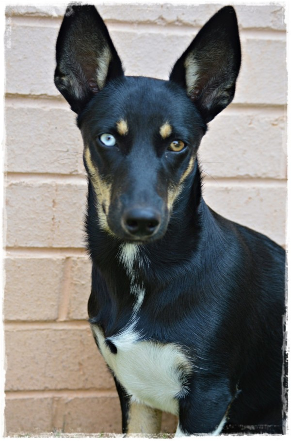 Bambi (Border Collie Cross) - black dog with one blue eye and one brown one