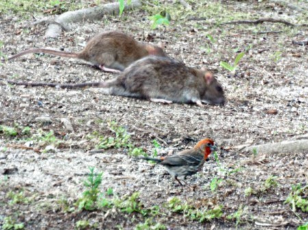 Rats next to a bird in a yard.