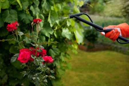 Organic Pesticides Being Sprayed on Rose