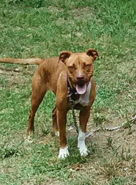 Transmission of Parvo Virus - brown dog on chain in yard