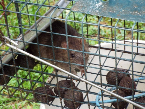 Great A Rat Captured In A Cage Trap.