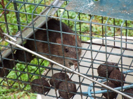 A rat captured in a cage trap.