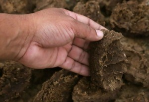 Hand holding cured Cow Manure