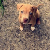 What Type of Pit Bull Is My Dog? - light brown puppy