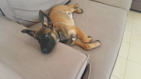 Is My Malinois Purebred?