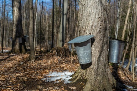 Tapped Maple Trees