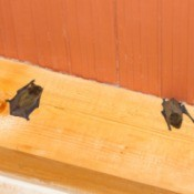 Bats in the Attic