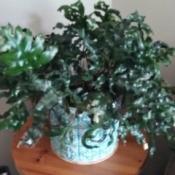 Identifying a Houseplant - fern like plant