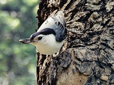 A white-breasted nuthatch on a tree.