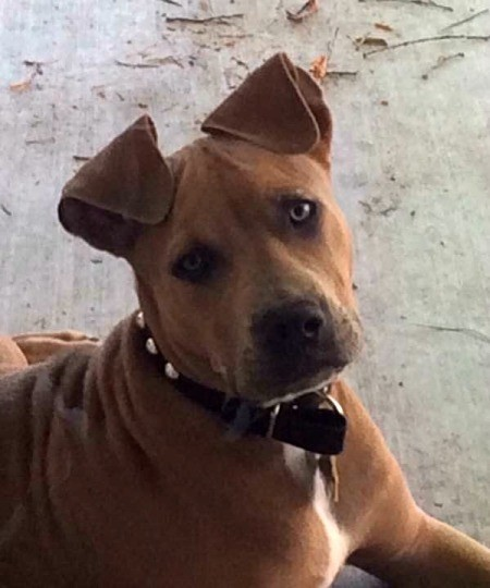 Is My Pit Bull Pure Bred? - brown Pit Bull