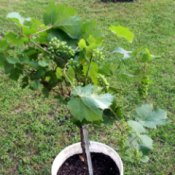 Grow Grapes On Your Patio/Deck/Back Yard - grape standard in bucket