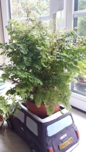 Identifying a Houseplant - fern