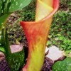 Bright Brilliance Calla Lily Bud - salmon pink and yellow calla