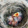 Blackbirds Nesting