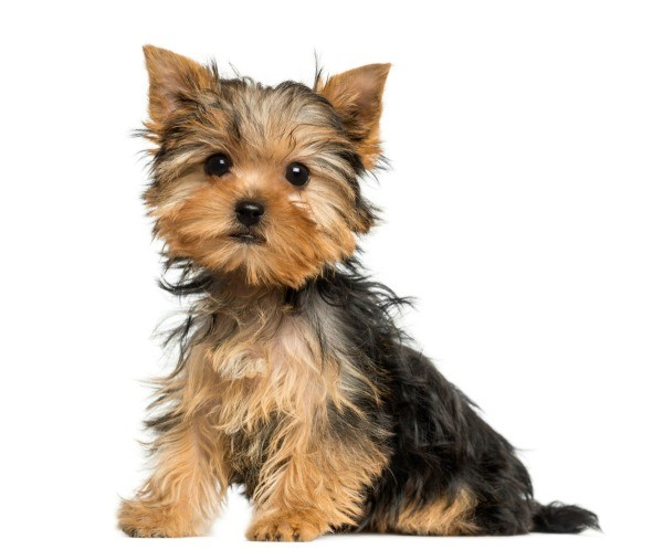 House Training A Yorkshire Terrier Thriftyfun