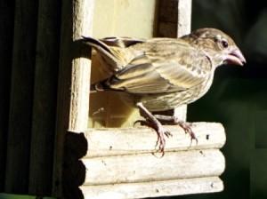 Birds In The Sun - female house finch