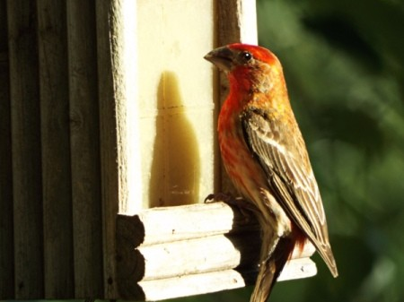Birds In The Sun - male house finch
