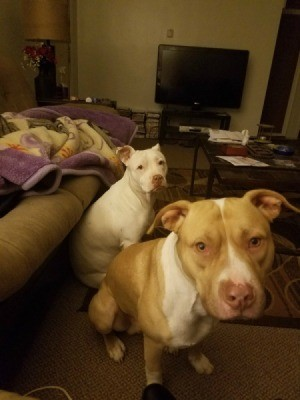 Recovery Time for Dog with Parvo - two Pit Bull terriers