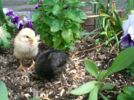 Newly Hatched Chicks - black and yellow baby chicks