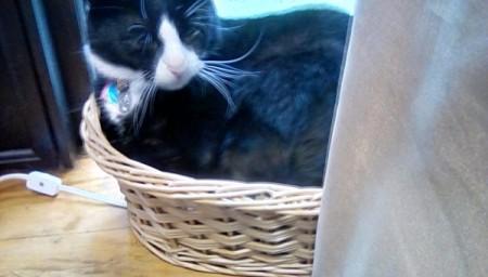 Nicky (Mixed Breed Cat)