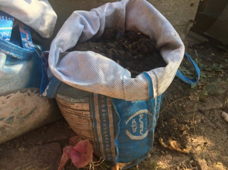 Grow Potatoes from an Old Potato - soil in rice bag
