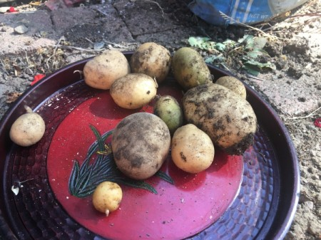Grow Potatoes from an Old Potato - harvested potatoes