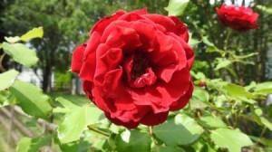 My Rose Bush  - crinkly red rose