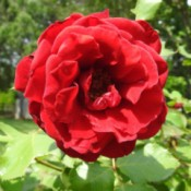 My Rose Bush  - crinkly red rose