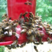 Keeping Bees Away from a Hummingbird Feeder