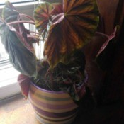 What Is This Houseplant? large leaved plant, perhaps a coleus or caladium
