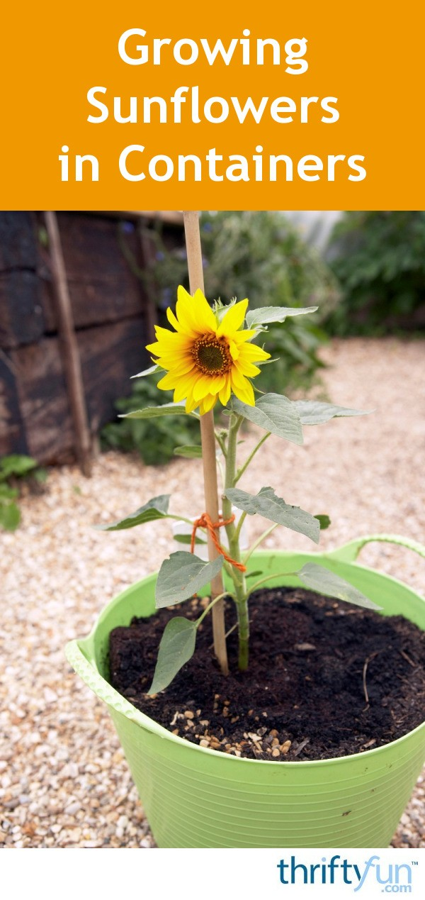 Growing Sunflowers in Containers | ThriftyFun