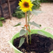 A sunflower plant growing in a light green container.