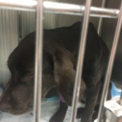 Progression of the Treatment for Parvo - black dog in vet cage